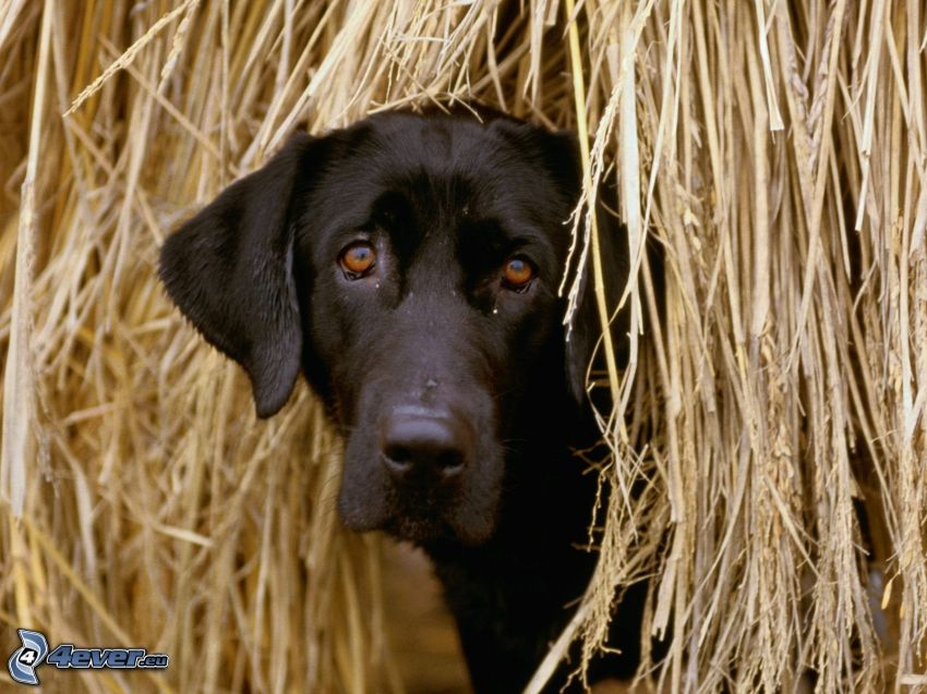 svart Labrador, halm