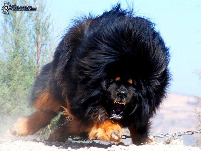 Tibetansk mastiff, ilska