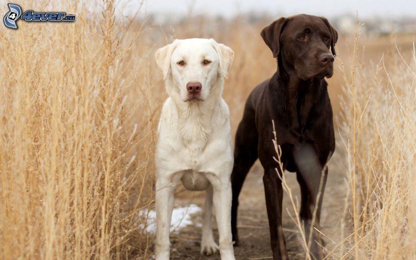 två hundar, Labrador, torrt gräs