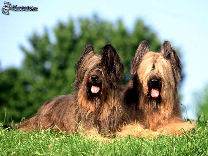 två hundar, räcka ut tungan