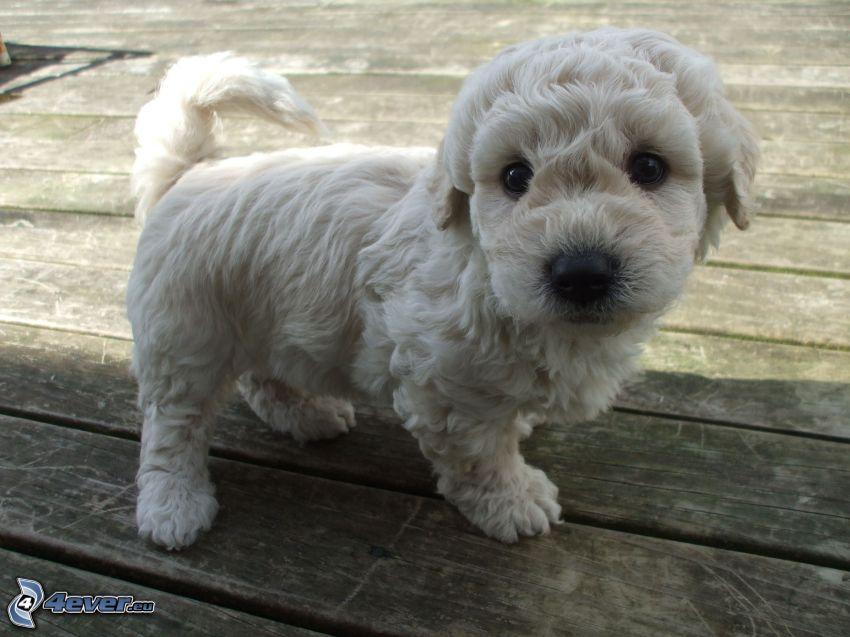 valp, vit hund