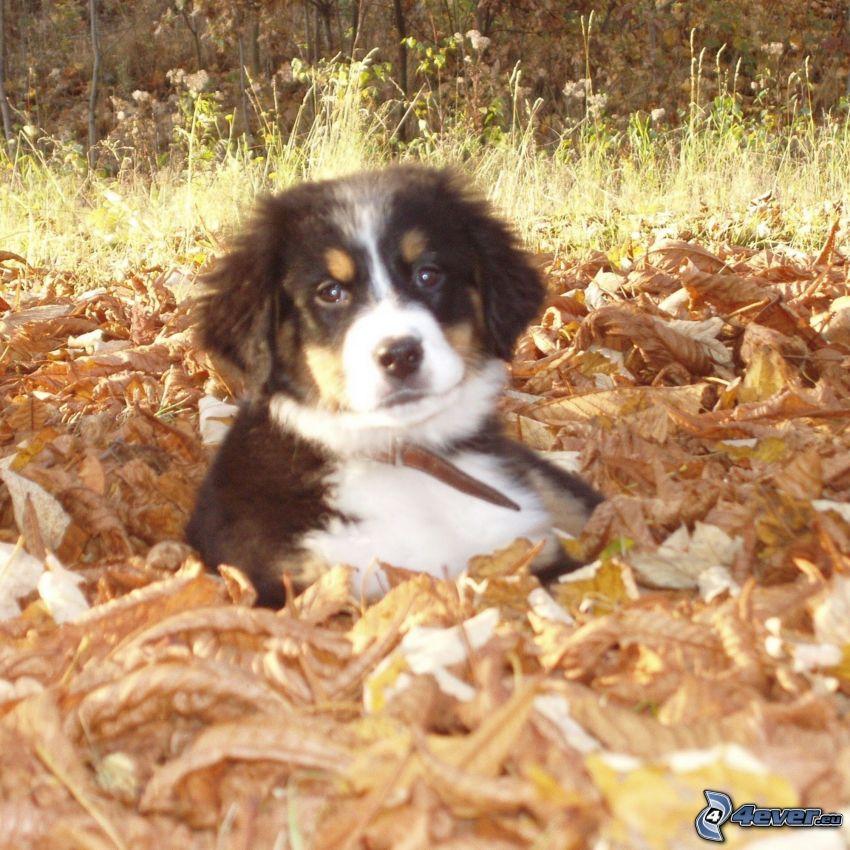 valp i blad, Berner sennenhund