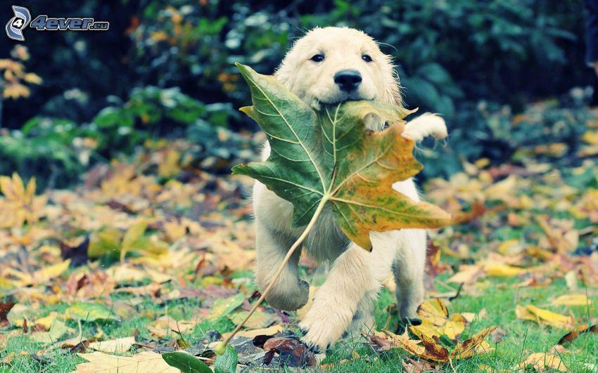 valp i blad, löv