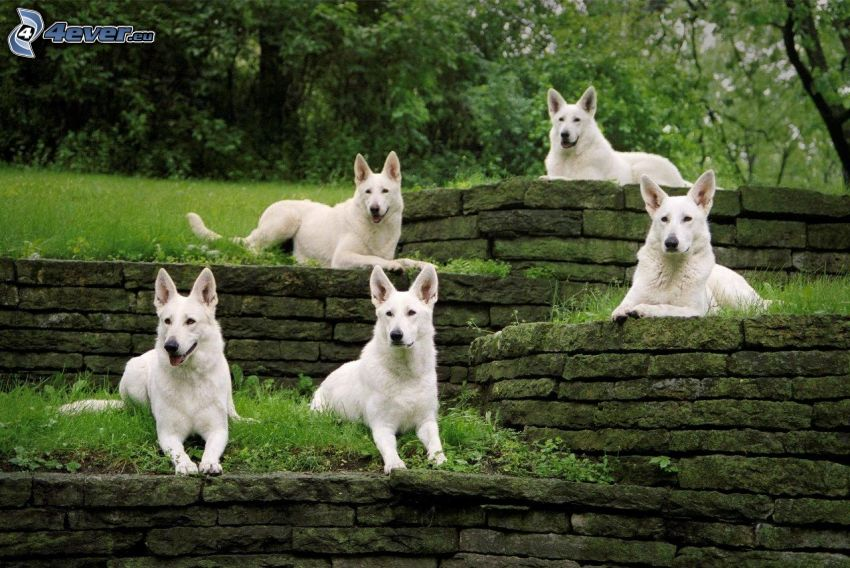 Vit herdehund, mur