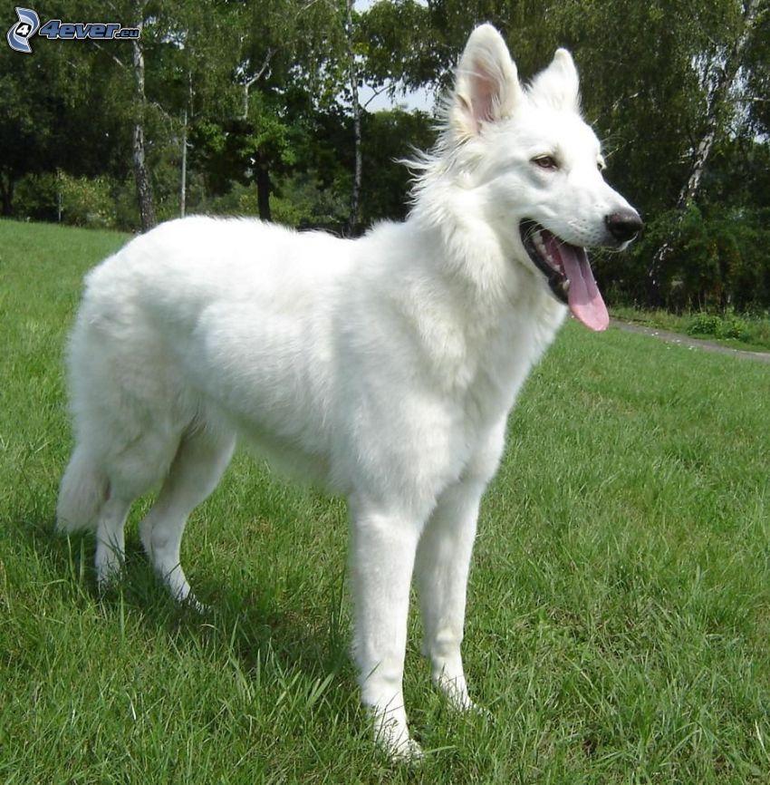 Vit herdehund, räcka ut tungan, gräs, skog