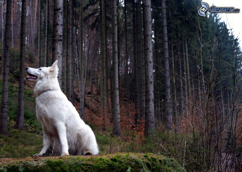Vit herdehund, skog