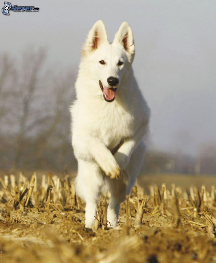 Vit herdehund, springa