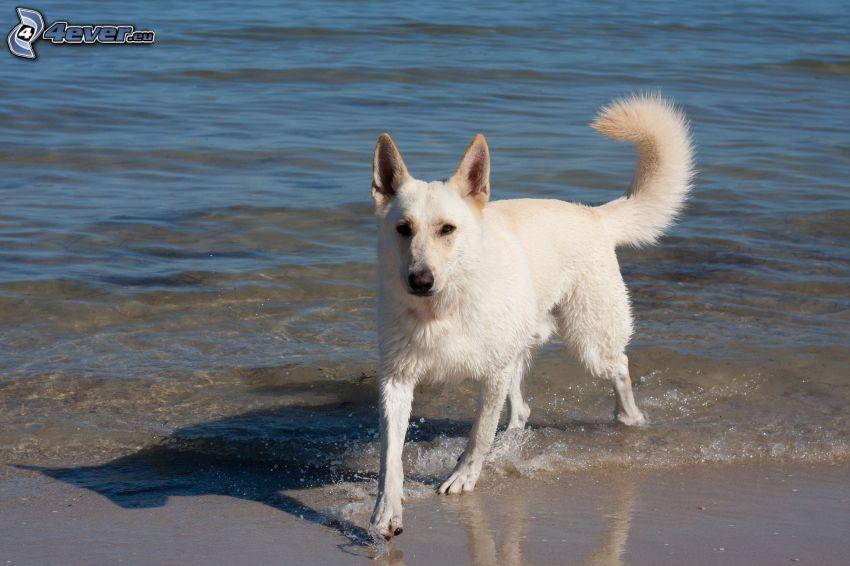 Vit herdehund, strand, hav