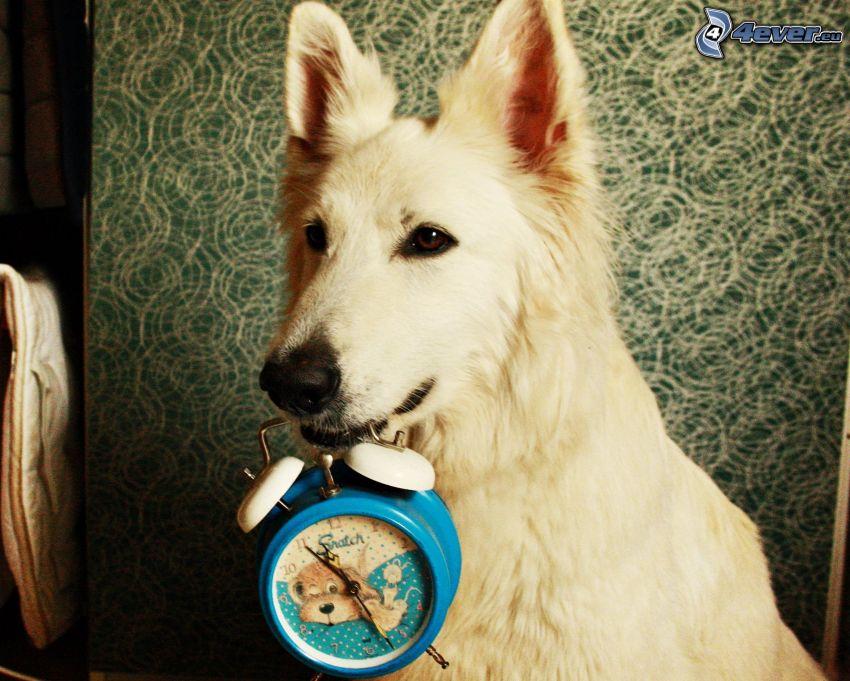 Vit herdehund, väckarklocka