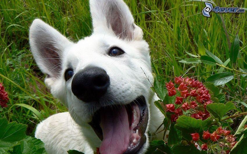 Vit herdehund, valp, vit hund, tunga, röd blomma, gräs