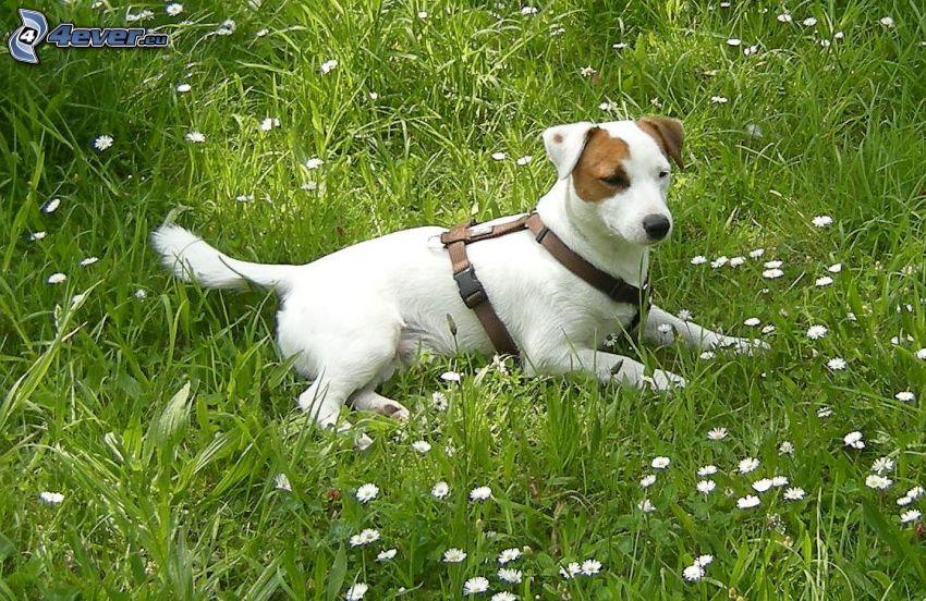 vit hund, gräs, prästkragar