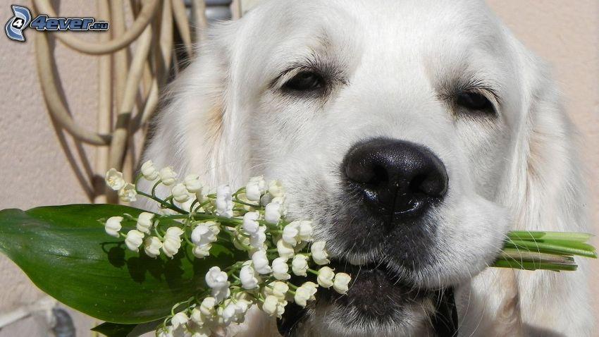 vit hund, liljekonvaljer
