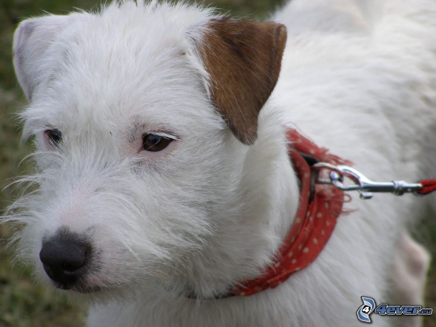 vit hund, öra, halsduk