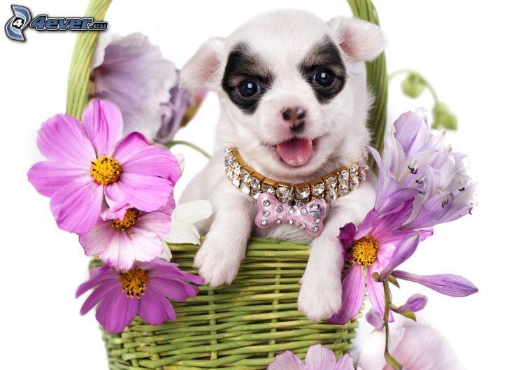 vit valp, korg, lila blommor, diamanter