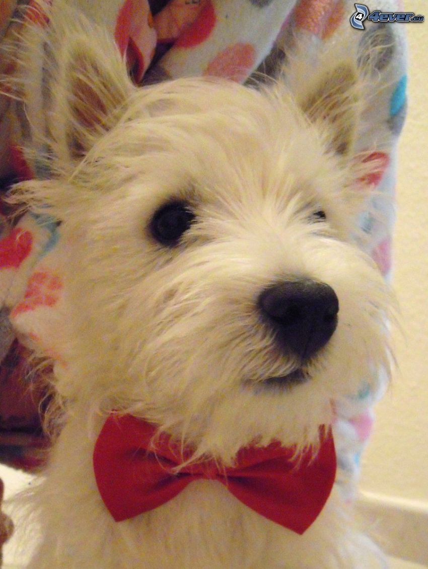 West Highland Terrier, fluga