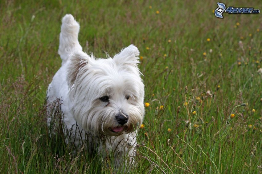 West Highland Terrier, högt gräs