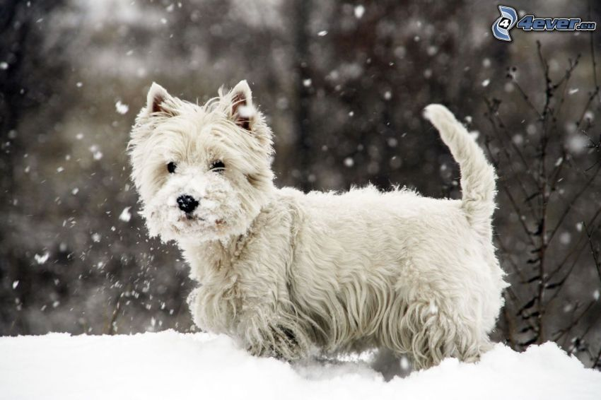 West Highland Terrier, snö