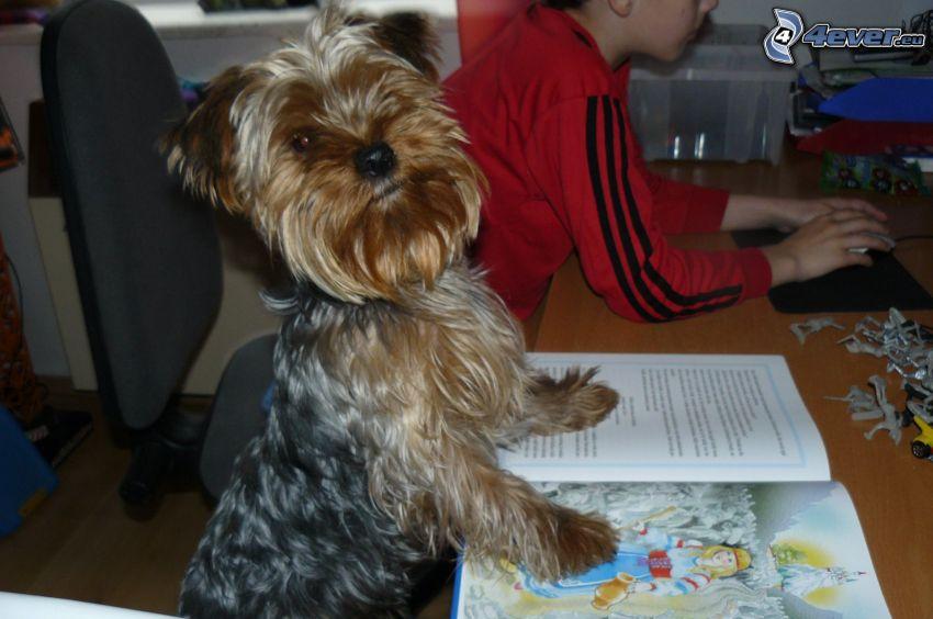Yorkshire Terrier, bok