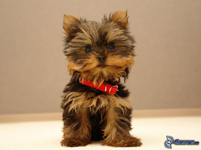 Yorkshire Terrier, valp