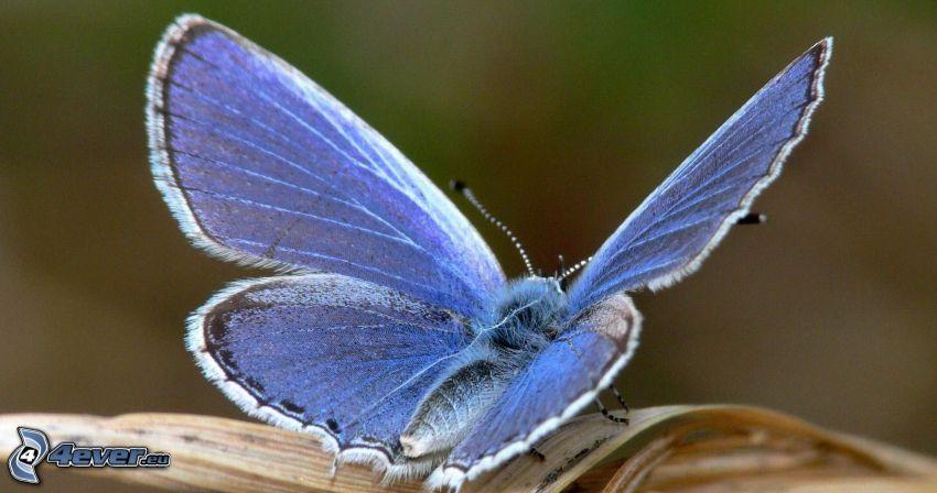 blå fjäril, makro
