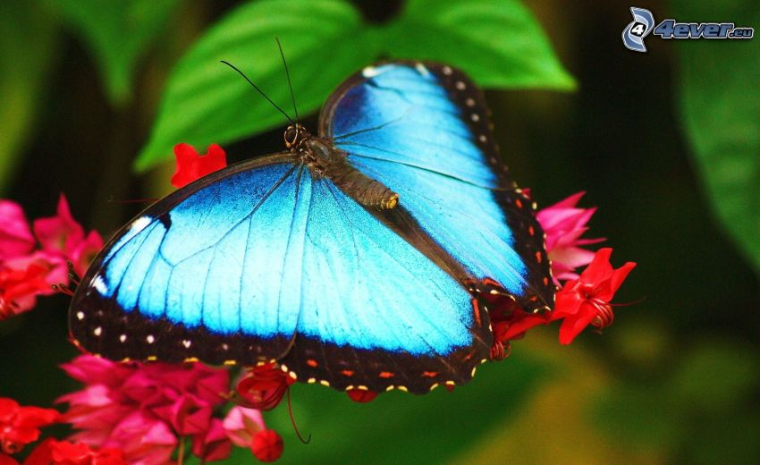 blå fjäril, röd blomma, makro