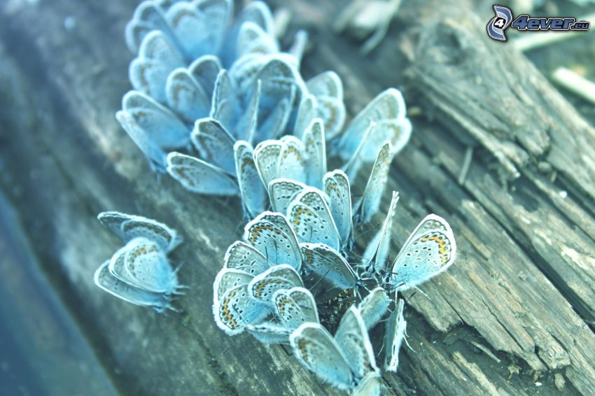blå fjärilar