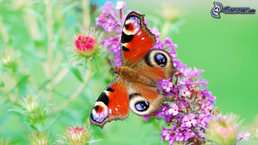 fjäril, blommor