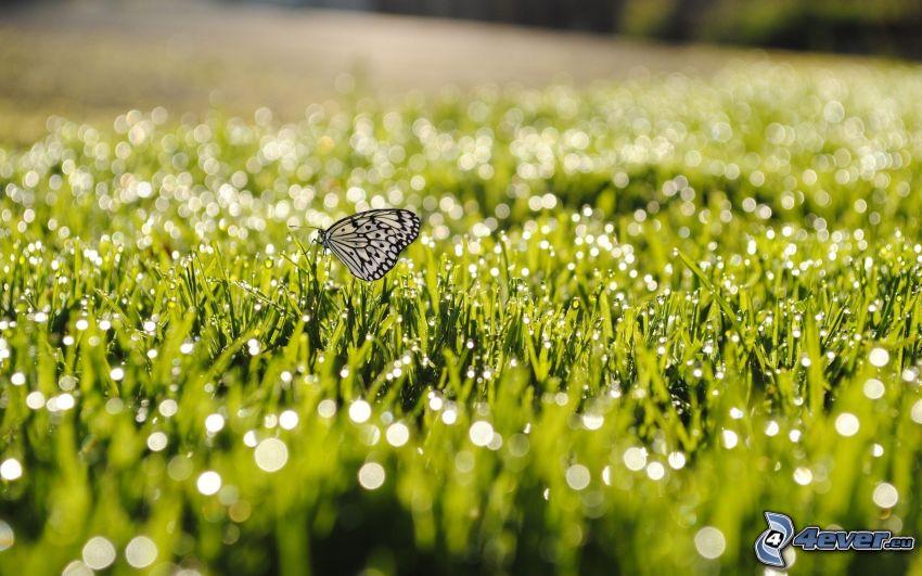 fjäril, gräs