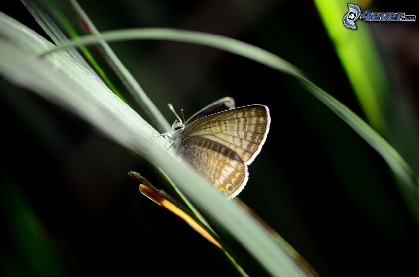 fjäril, grässtrån