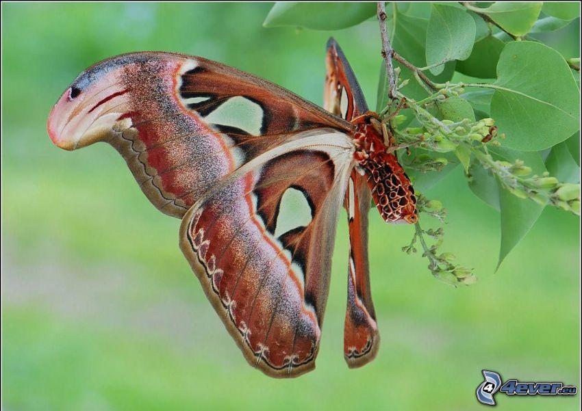 fjäril, gren