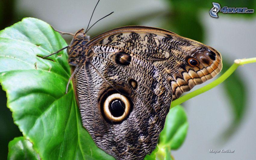 fjäril, grönt blad, makro