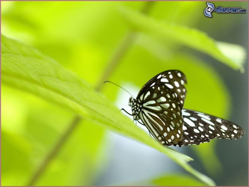 fjäril, grönt blad