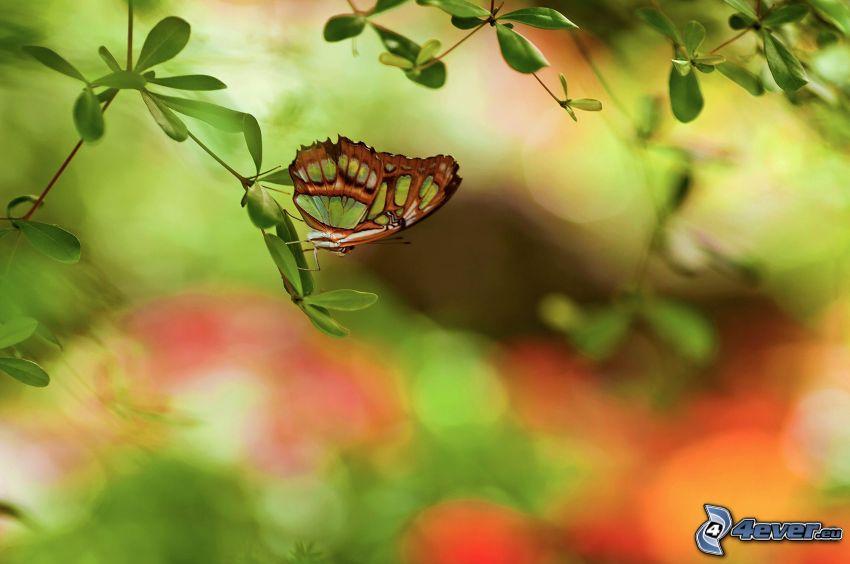fjäril, kvist