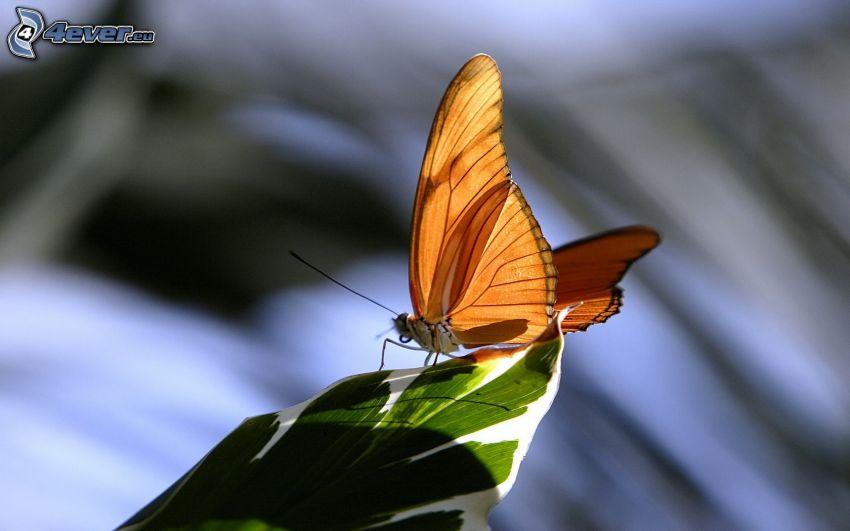 fjäril, löv, makro