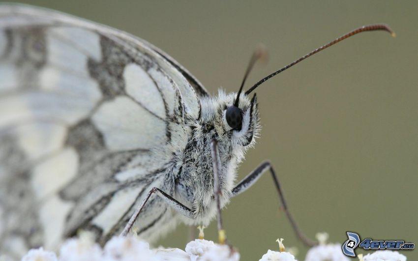 fjäril, makro