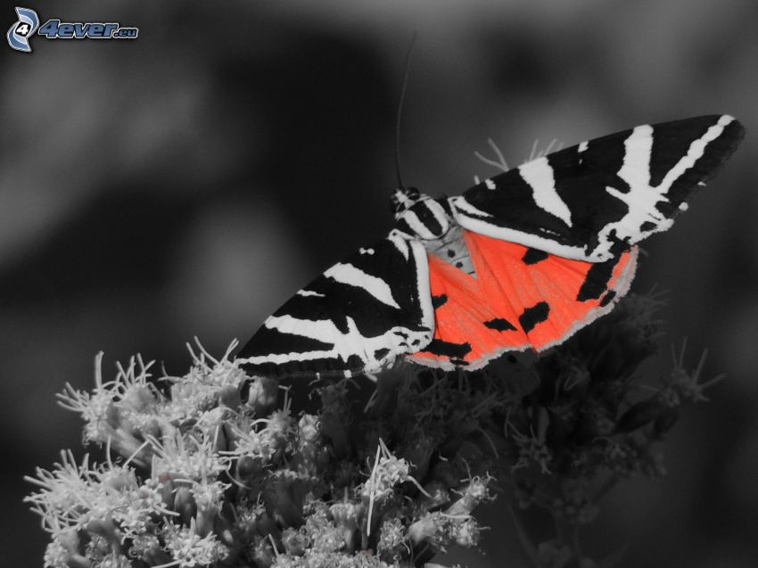 fjäril, Photoshop