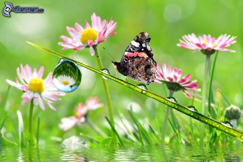 fjäril, strå, vattendroppe, prästkragar