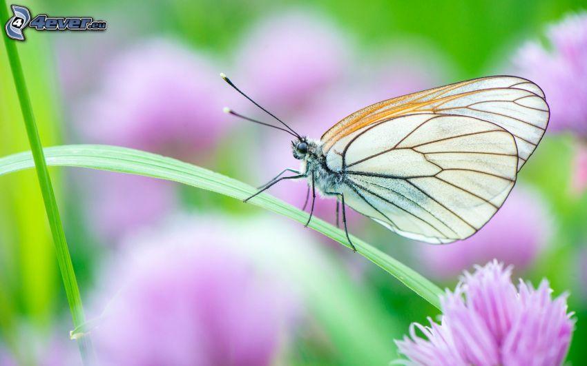 fjäril, strå
