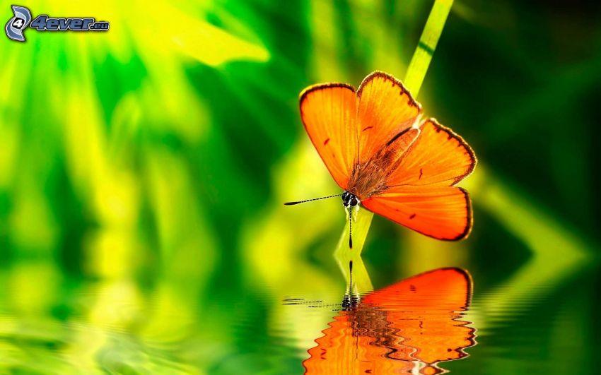 fjäril, vatten