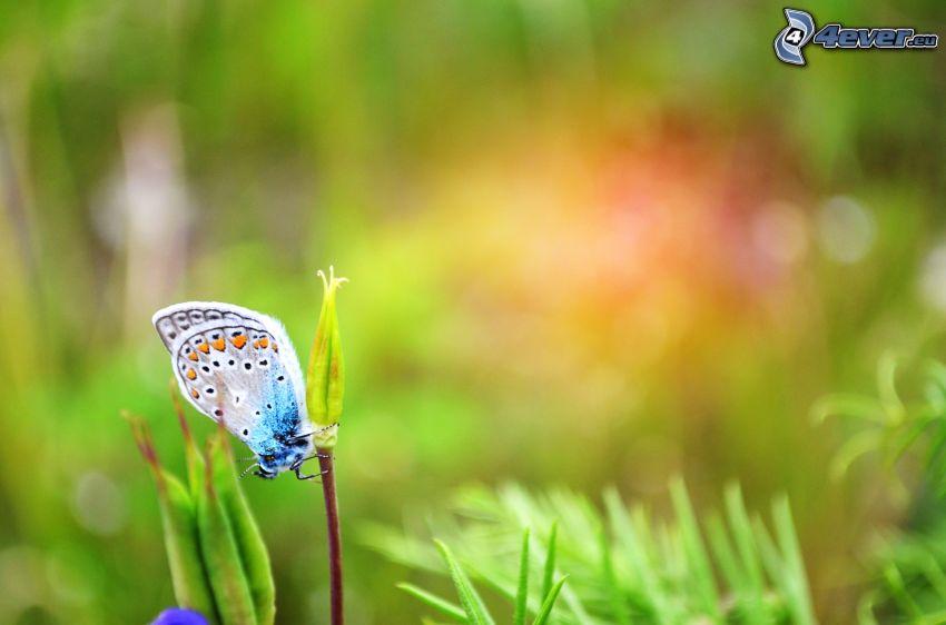 fjäril, växt
