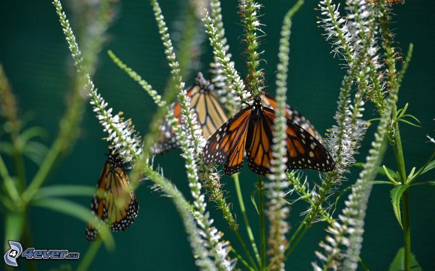 fjäril, växter
