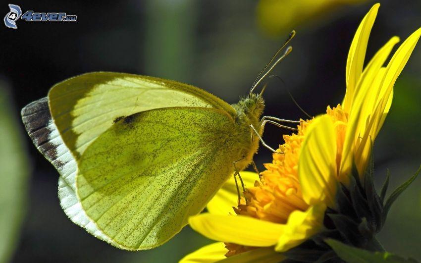 fjäril på en blomma, gul blomma, makro