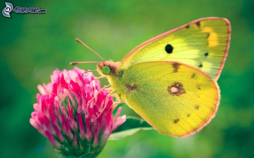 fjäril på en blomma, klöver, makro