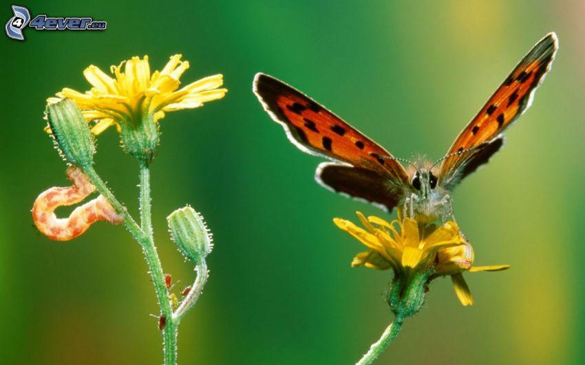 fjäril på en blomma, larv, gul blomma