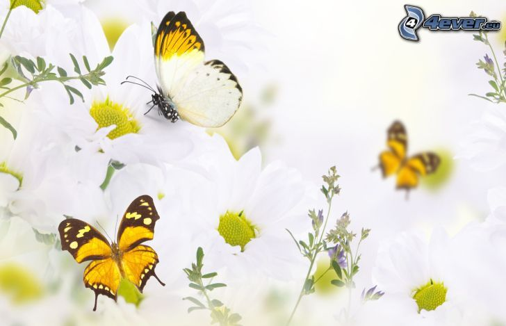 fjärilar, blommor
