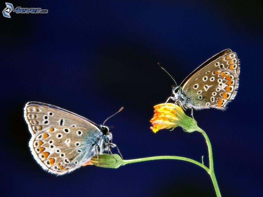 fjärilar, gul blomma