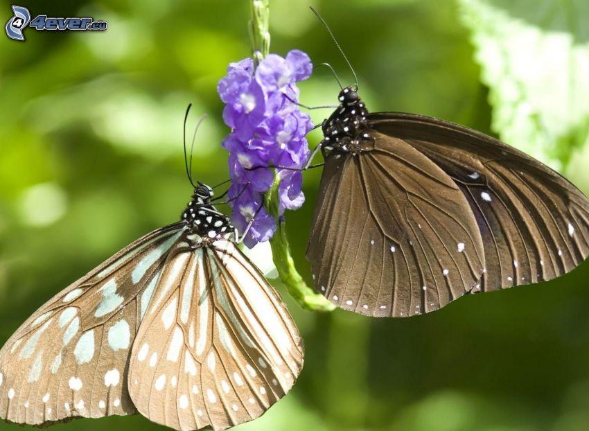 fjärilar, lila blomma