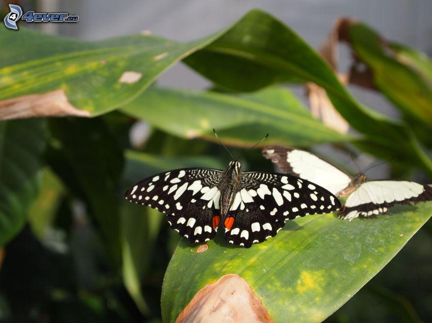 fjärilar, löv