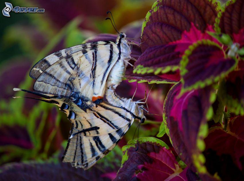 fjärilar, Makaonfjäril, parning, växt