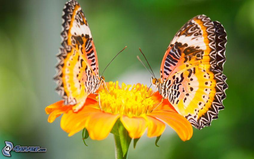 fjärilar, orange blomma